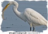 20140808 187 Great Egret  and Longnose Gar.jpg