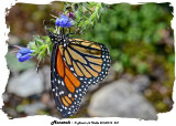 20140915 237 Monarch.jpg