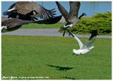 20140926 1030 SERIES -  Rosss Goose.jpg