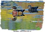 20140926 203 Wood Duck.jpg