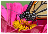 20140910 147 SERIES -  Monarch2.jpg
