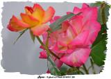20140910 208 Roses.jpg