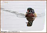 20141001 133 Wood Duck.jpg