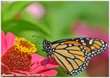 20140910 110 Monarch.jpg