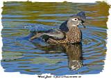 20140926 501 Wood Duck.jpg