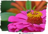 20140910-2 058 Leaf Cutter Bee.jpg