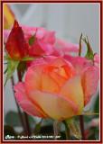 20141021 049 Rose.jpg