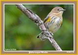 20140915 018 Yellow-rumped Warbler2.jpg