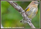 20140915 018 Yellow-rumped Warbler3.jpg