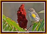 20140918 057 Yellow-rumped Warbler.jpg