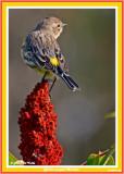 20140918 058 Yellow-rumped Warbler.jpg