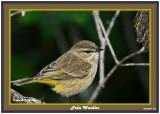 20140918 157 Palm Warbler.jpg