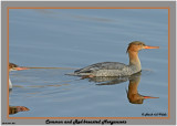 20141104 352 SERIES - Common and Red-breasted Mergansers.jpg