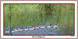 20140908 179 Common Mergansers.jpg