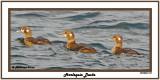 20140831 014 Harlequin Ducks.jpg