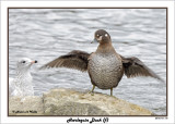 20141113 112 SERIES - Harlequin Duck (f).jpg