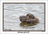 20141113 299 Harlequin Duck (f).jpg
