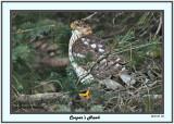 20141118 154 Cooper's Hawk.jpg