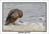 20141113 334 Harlequin Duck (f).jpg