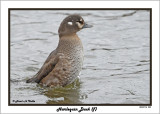 20141113 259 Harlequin Duck (f).jpg