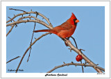 20141119 160 Northern Cardinal.jpg