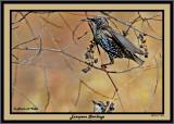 20141119 024 European Starlings.jpg