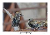 20141119 035 European Starlings.jpg