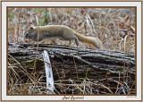 20141126 040 SERIES - Red Squirrel.jpg