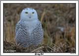 20141129 220 Snowy Owl.jpg