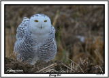20141129 223 Snowy Owl.jpg