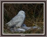 20141201 273 Snowy Owl.jpg