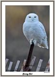 20141129 374 Snowy Owl.jpg