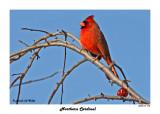 20141119 194 SERIES -  Northern Cardinal.jpg