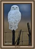 20141129 357 Snowy Owl rawc 1r1.jpg