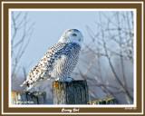 20141204 058 Snowy Owl rawc 1r1.jpg
