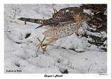 20141118 115 Cooper's Hawk.jpg