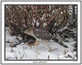 20141118 227 Cooper's Hawk (juv).jpg