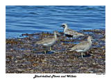 20140822 1459 Black-bellied Plover and Willets.jpg