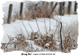 20131230 034 Snowy Ow.jpg