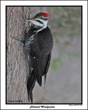 20141219 069 Pileated Woodpecker.jpg