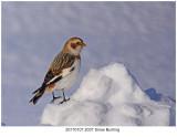 20170107 2037 Snow Buntingj.jpg