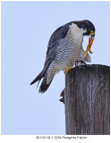 20170119-1 3239 Peregrine Falcon.jpg