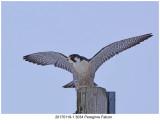 20170119-1 3034 SERIES - Peregrine Falcon.jpg