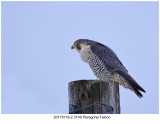 20170119-2 3140 SERIES - Peregrine Falcon.jpg