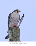 20170119-1 2997 Peregrine Falcon.jpg