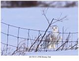 20170111 2765 Snowy Owl.jpg