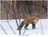 20170212 4513 Red Fox.jpg