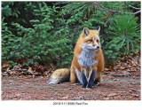 20161111 8589 Red Fox.jpg