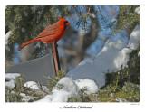 20160218-2 291  SERIES - Northern Cardinal.jpg
