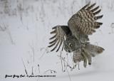 20130119 572 Great Gray Owl.jpg